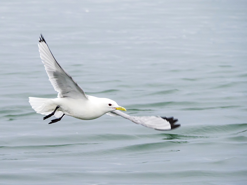Black-legged kittiwake, Rissa tridactyla, in flight at South Marble Island, Glacier Bay National Park, Alaska, USA.