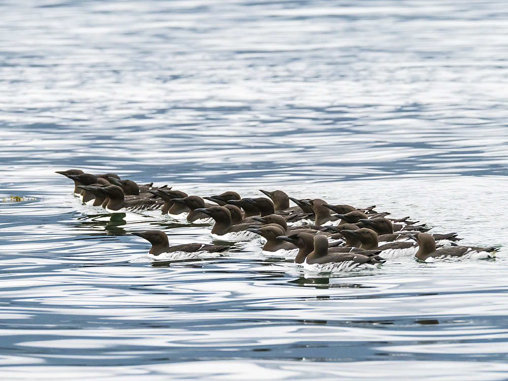 A raft of common murres, Uria aalge, at breeding site on South Marble Island, Glacier Bay National Park, Alaska, USA.