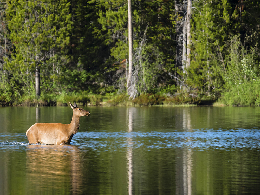 Adult female elk (Cervus canadensis) on String Lake, Grand Teton National Park, Wyoming, United States of America, North America
