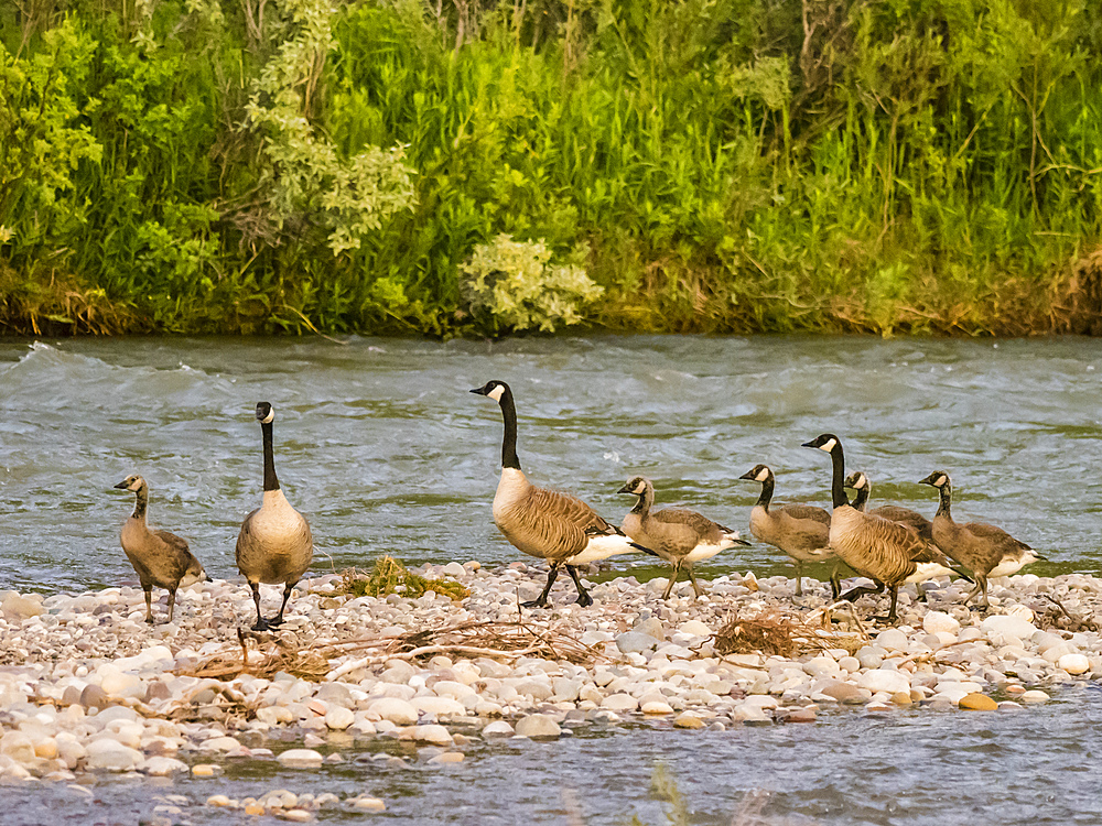 Adult Canada geese, Branta canadensis, with goslings, Gros Ventre River, Grand Teton National Park, Wyoming, USA.