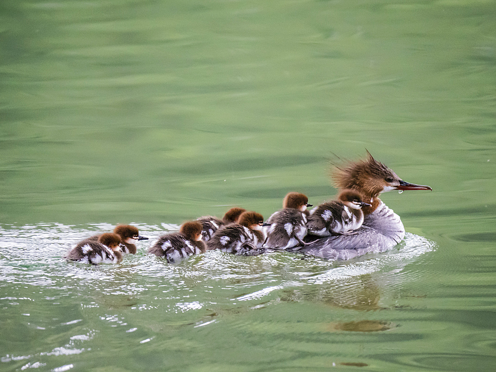 Adult female Common merganser (Mergus merganser), with chicks, Leigh Lake, Grand Teton National Park, Wyoming, United States of America, North America