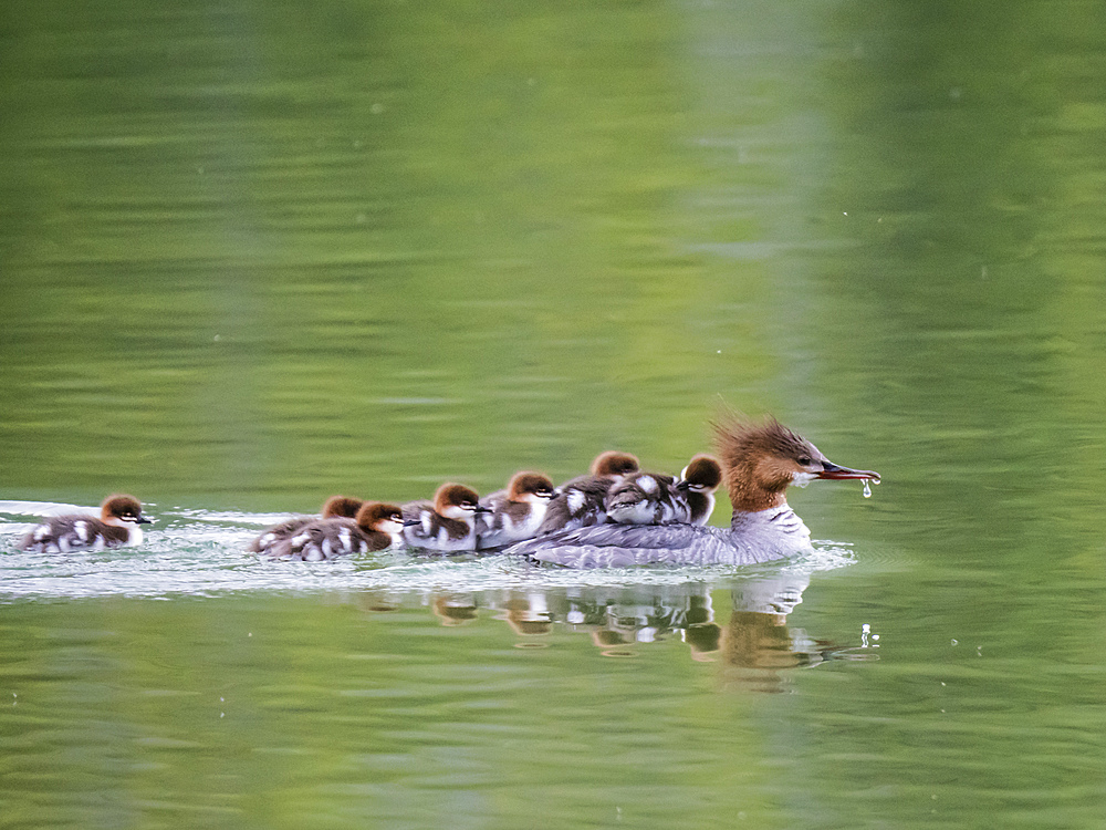 Adult female Common merganser (Mergus merganser) with chicks, Leigh Lake, Grand Teton National Park, Wyoming, United States of America, North America