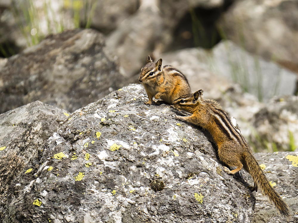 A pair of least chipmunks (Neotamias minimus), at Phelps Lake, Grand Teton National Park, Wyoming, United States of America, North America