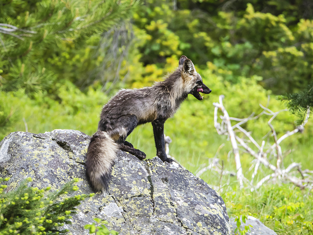 Adult mother red fox (Vulpes vulpes), near her den at Leigh Lake, Grand Teton National Park, Wyoming, United States of America, North America