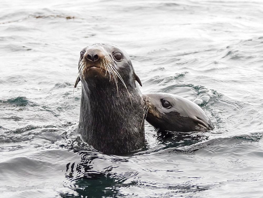 Northern fur seals (Callorhinus ursinus), Bering Island, Commander Island Group, Kamchatka, Russia, Eurasia