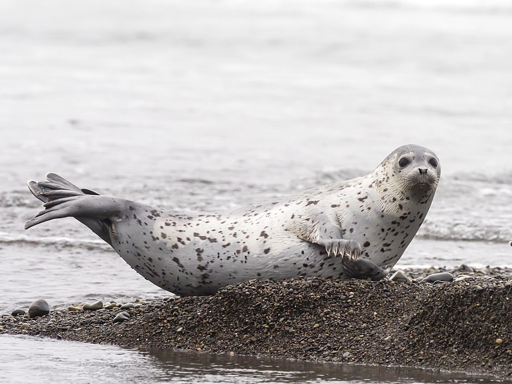 Adult spotted seal, Phoca largha, Hauled out on the beach near Meynypilgino, Chukotka, Russia.