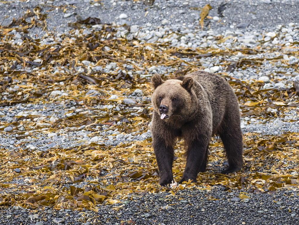Adult female Kamchatka brown bear (Ursus arctos beringianus), Glubokaya Bay, Kamchatka, Russia, Eurasia