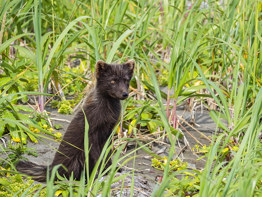 Adult Arctic fox (Vulpes lagopus), in summer brown fur coat on Bering Island, Commander Islands, Kamchatka, Russia, Eurasia