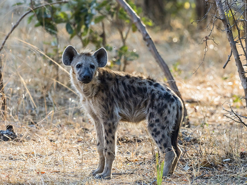 An adult spotted hyena, Crocuta crocuta, in South Luangwa National Park, Zambia.