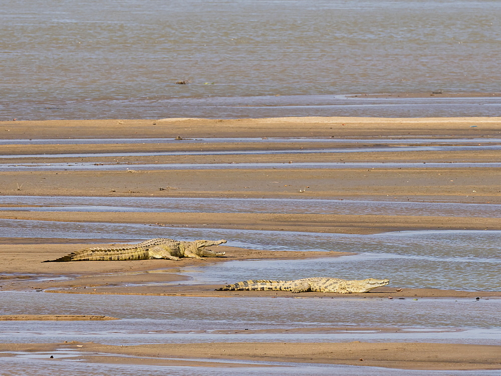 Adult Nile crocodiles (Crocodylus niloticus) basking in the sun in South Luangwa National Park, Zambia, Africa