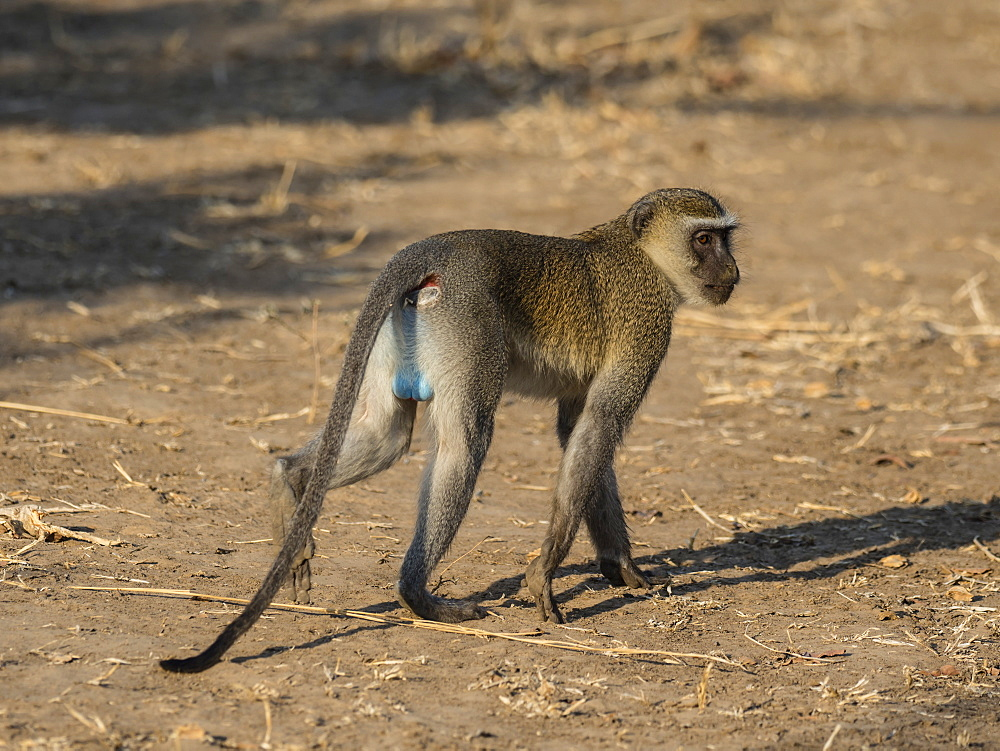 An adult male vervet monkey (Chlorocebus pygerythrus), South Luangwa National Park, Zambia, Africa