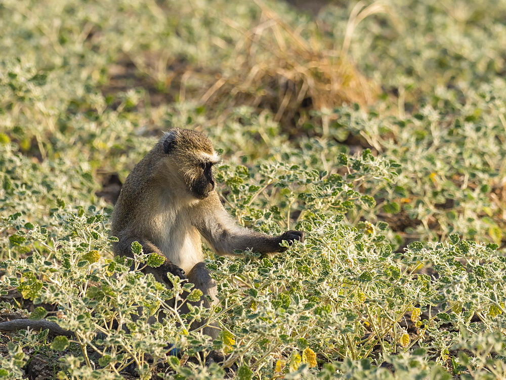 An adult vervet monkey, Chlorocebus pygerythrus, in South Luangwa National Park, Zambia.