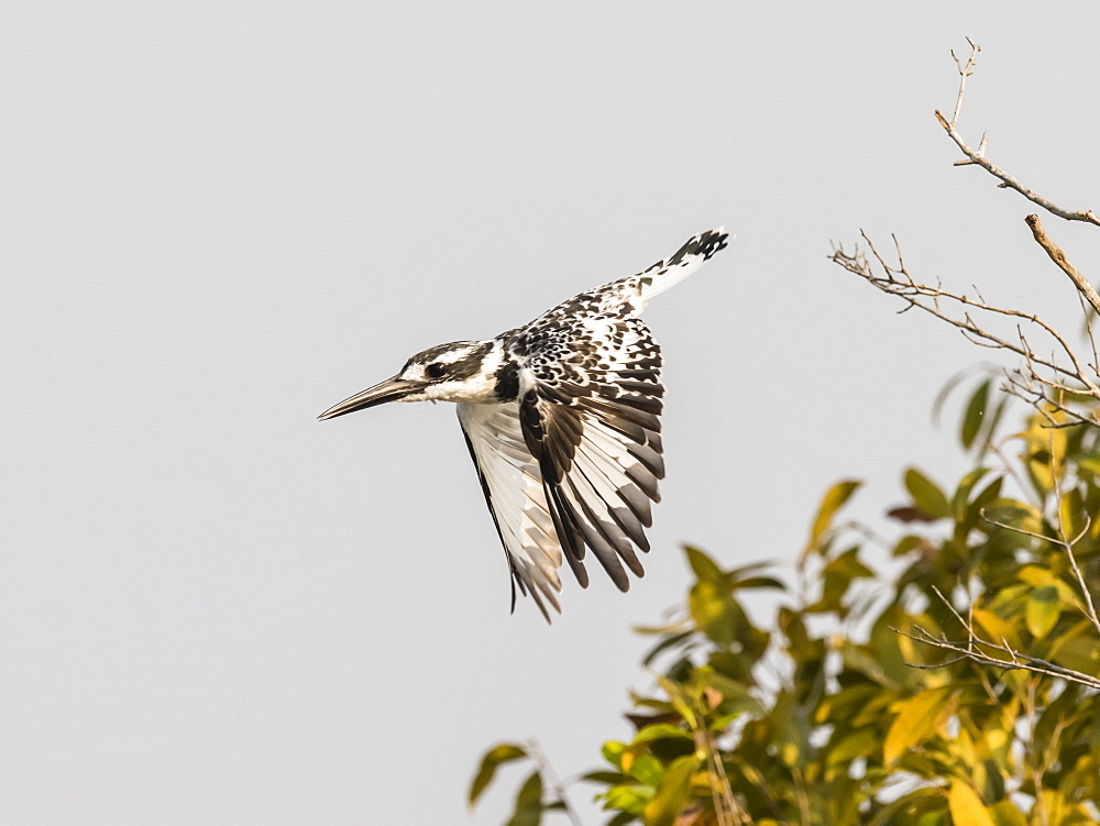 An adult pied kingfisher (Ceryle rudis), taking flight in South Luangwa National Park, Zambia, Africa