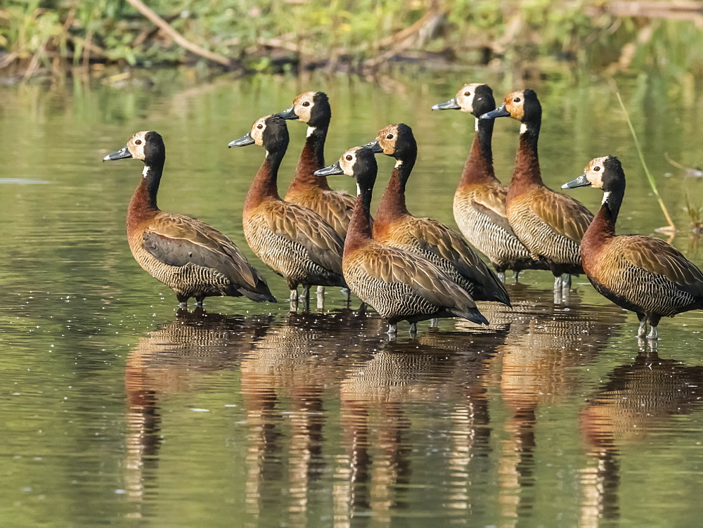 A flock of white-faced whistling ducks (Dendrocygna viduata), Zambezi River, Mosi-oa-Tunya National Park, Zambia, Africa