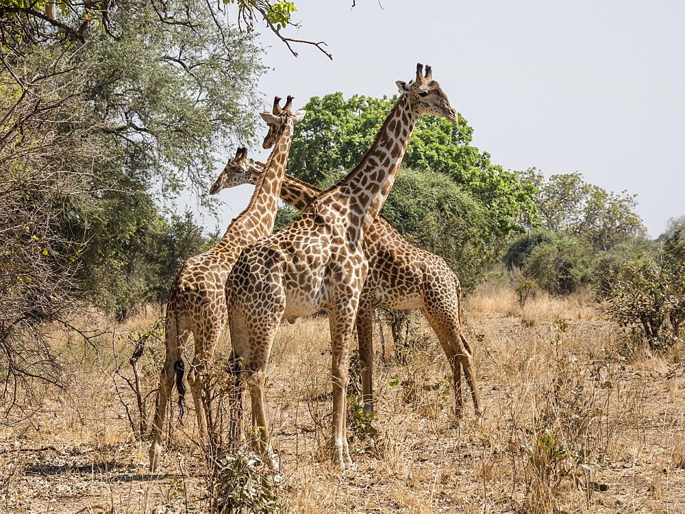 Adult male Thornicrofts giraffes (Giraffa camelopardalis thornicrofti), South Luangwa National Park, Zambia, Africa