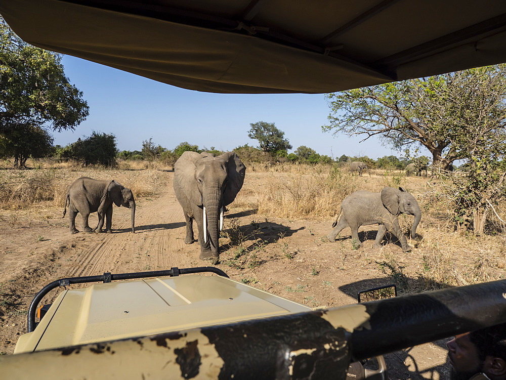 African bush elephants (Loxodonta africana), near a safari truck in South Luangwa National Park, Zambia, Africa