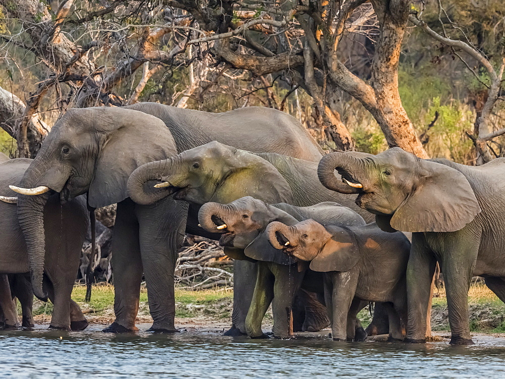 A herd of African bush elephants (Loxodonta africana) on the upper Zambezi River, Mosi-oa-Tunya National Park, Zambia.