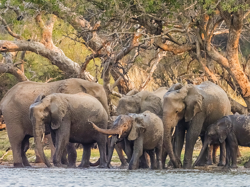 A herd of African bush elephants (Loxodonta africana) on the upper Zambezi River, Mosi-oa-Tunya National Park, Zambia, Africa