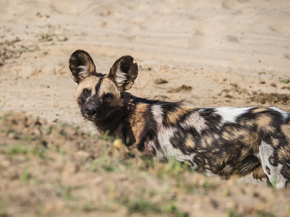 A Cape wild dog (Lycaon pictus pictus), listed as Endangered, South Luangwa National Park, Zambia, Africa - 1112-4300