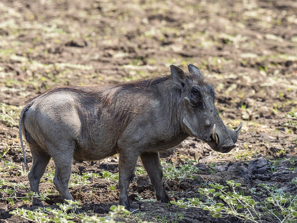 An adult male warthog (Phacochoerus africanus), South Luangwa National Park, Zambia, Africa