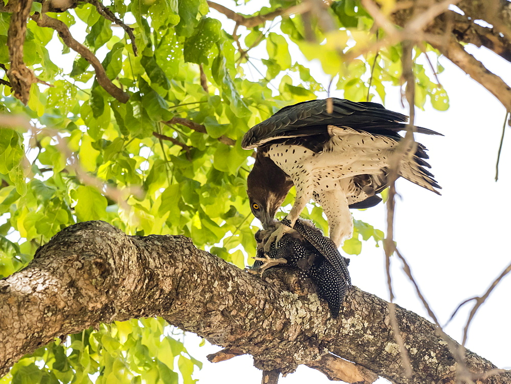 An adult martial eagle (Polemaetus bellicosus), with a helmeted guineafowl, South Luangwa National Park, Zambia, Africa - 1112-4304