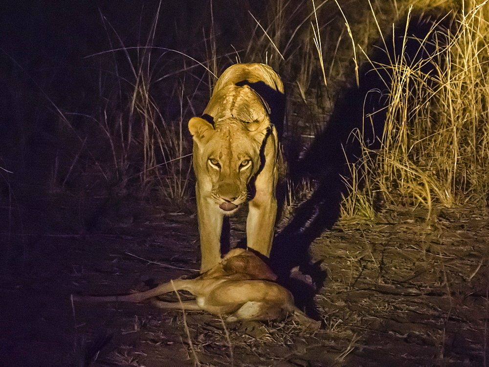 A collared adult lioness (Panthera leo), with an impala kill at night in South Luangwa National Park, Zambia, Africa - 1112-4306