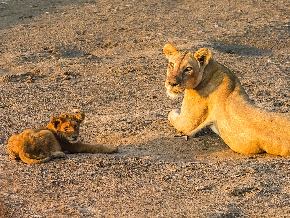 An adult lioness (Panthera leo) with playful cub along the Luangwa River in South Luangwa National Park, Zambia, Africa - 1112-4308