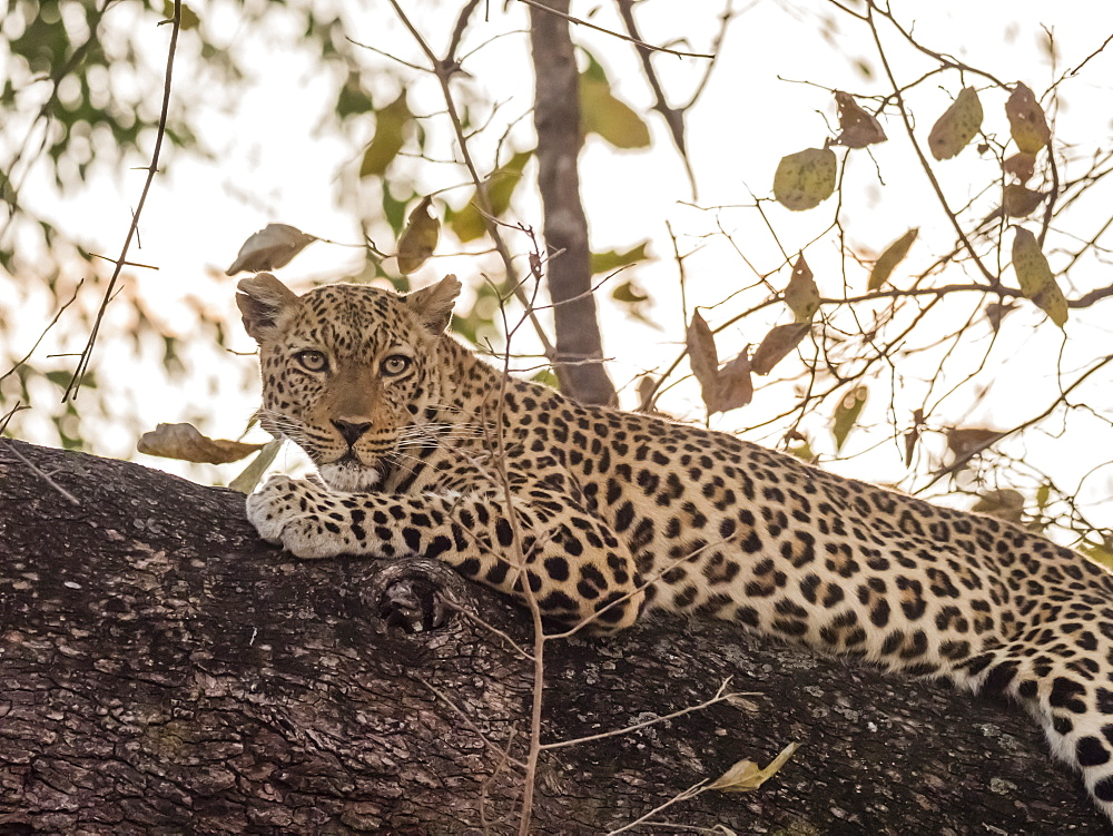 An adult female leopard (Panthera pardus), South Luangwa National Park, Zambia, Africa