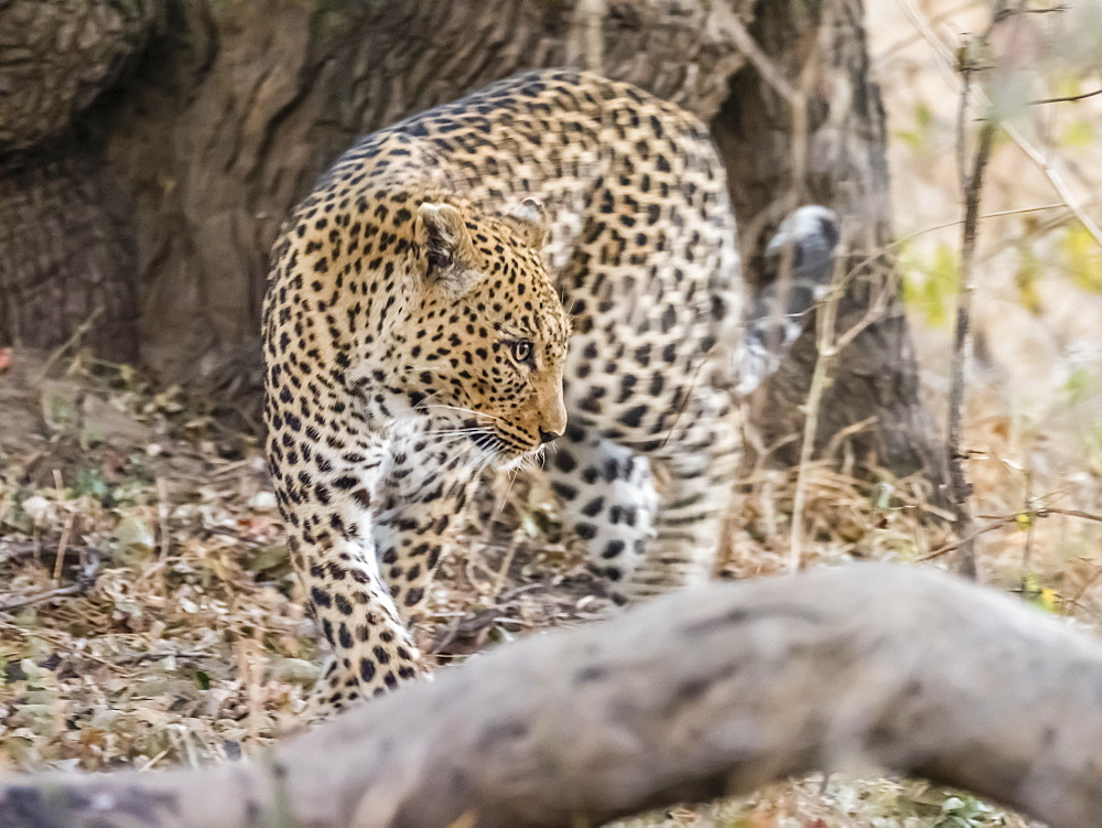 An adult female leopard (Panthera pardus), South Luangwa National Park, Zambia, Africa - 1112-4315