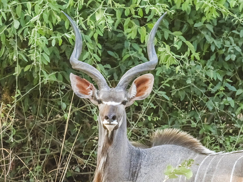 An adult male greater kudu (Tragelaphus strepsiceros), South Luangwa National Park, Zambia, Africa