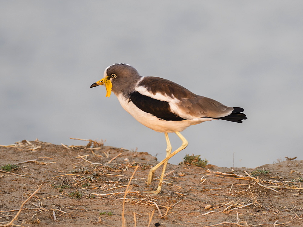 An adult white-crowned lapwing (Vanellus albiceps), on the upper Zambezi River, South Luangwa National Park, Zambia, Africa
