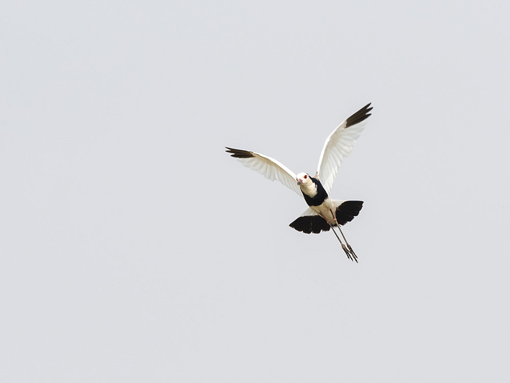 An adult long-toed lapwing (Vanellus crassirostris), in flight in Mosi-oa-Tunya National Park, Zambia, Africa - 1112-4320
