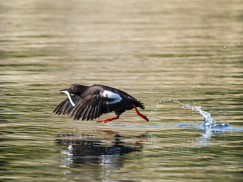 An adult pigeon guillemot (Cepphus columba) taking flight with a fish in Geographic Bay, Katmai National Park, Alaska, United States of America, North America - 1112-4325