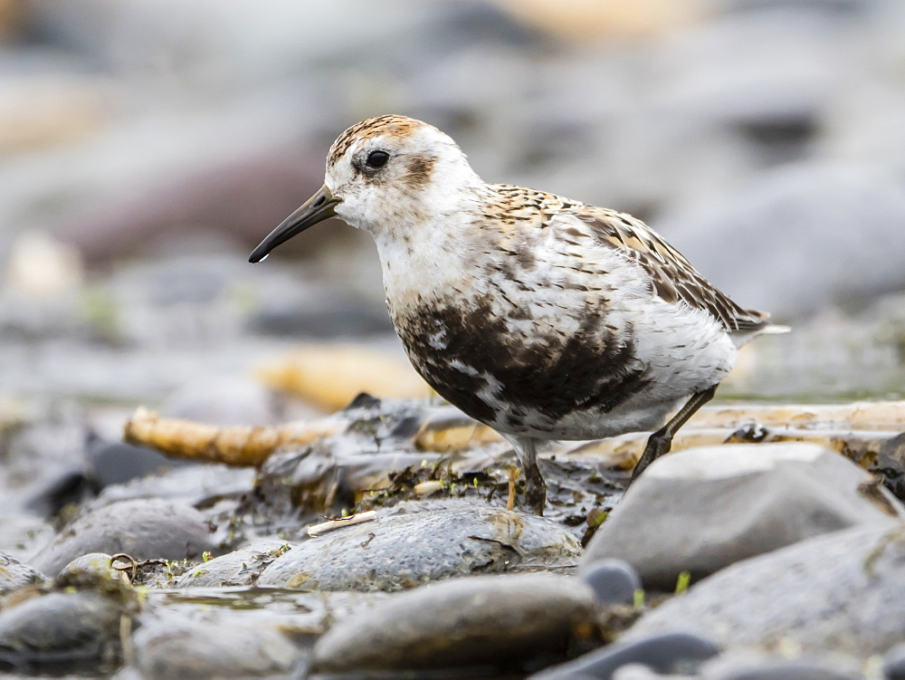 An adult rock sandpiper (Calidris ptilocnemis ptilocnemis), subspecies found on St. Mathews Island, Alaska, United States of America, North America - 1112-4326