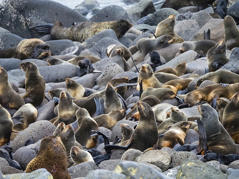 Breeding colony of northern fur seals (Callorhinus ursinus) on St. Paul Island, Pribilof Islands, Alaska, United States of America, North America - 1112-4327