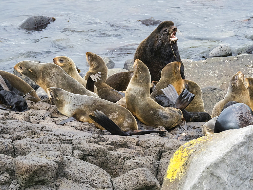 Breeding colony of northern fur seals (Callorhinus ursinus) on St. Paul Island, Pribilof Islands, Alaska, United States of America, North America