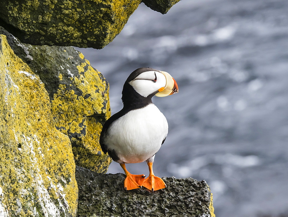 Adult horned puffin (Fratercula corniculata), on nesting cliff on St. Paul Island, Pribilof Islands, Alaska, United States of America, North America
