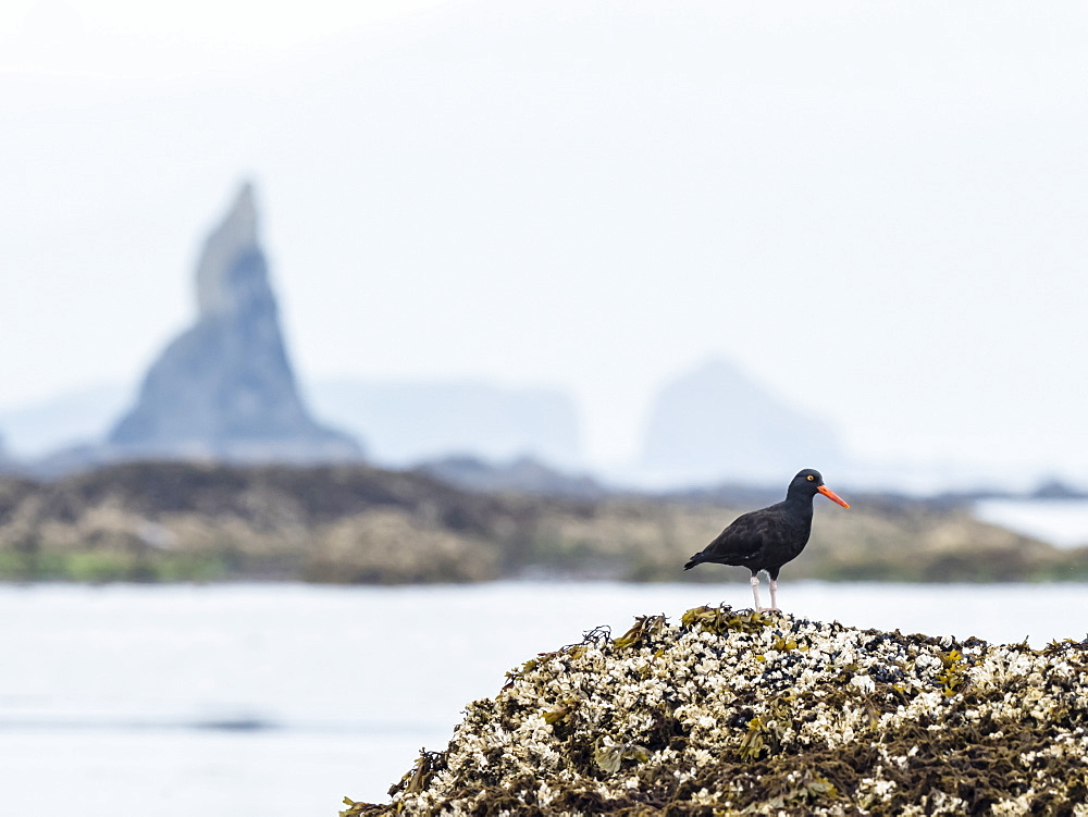 Adult black oystercatcher (Haematopus bachmani), on a small reef near Kodiak Island, Alaska, United States of America, North America