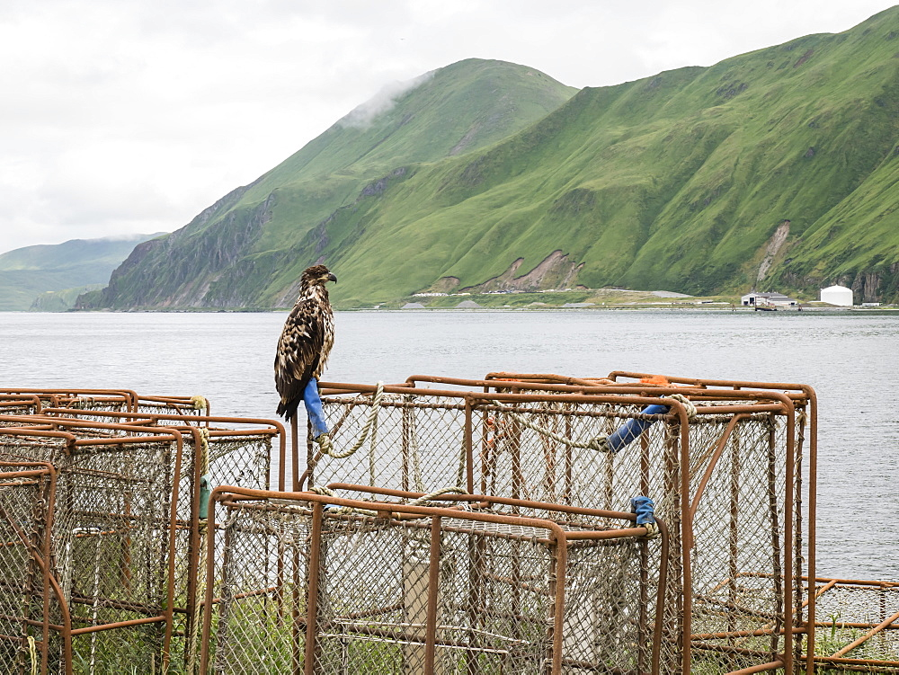 Juvenile bald eagle, Haliaeetus leucocephalus, on king crab pots in the town of Dutch Harbor, Unalaska Island, Alaska.