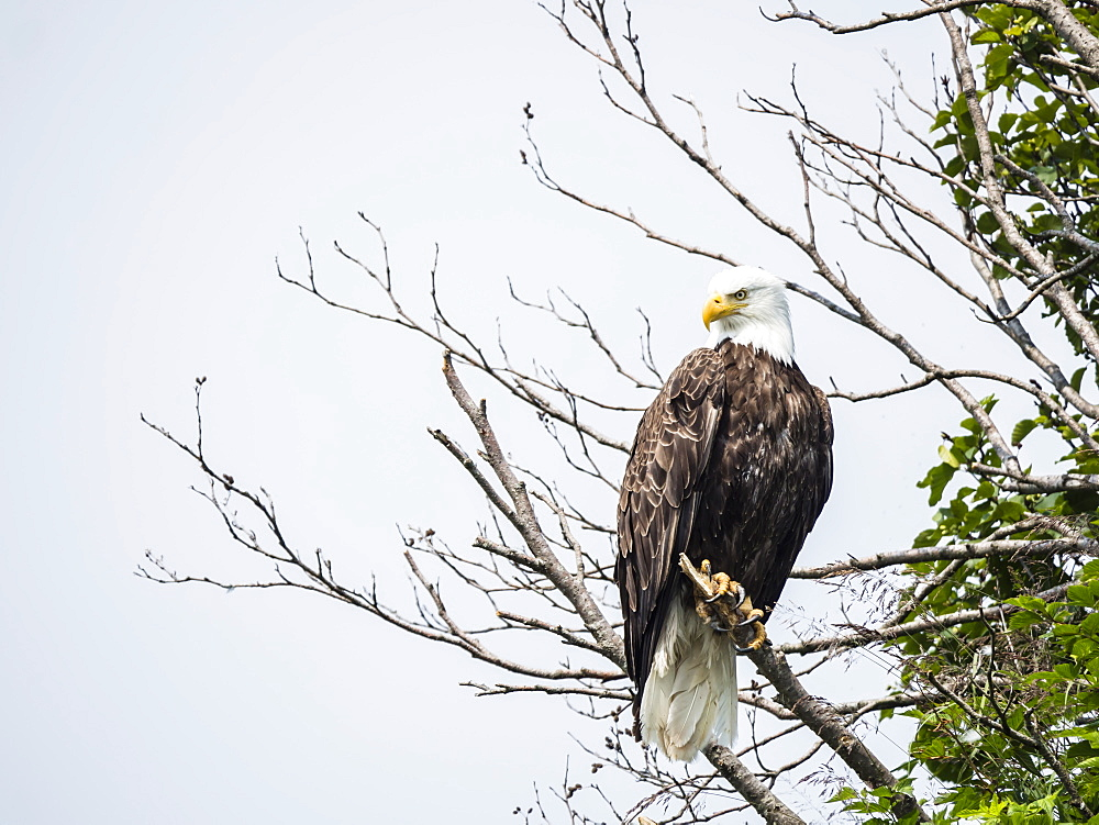 Adult bald eagle (Haliaeetus leucocephalus), on perch in Geographic Harbor, Katmai National Park, Alaska, United States of America, North America - 1112-4337
