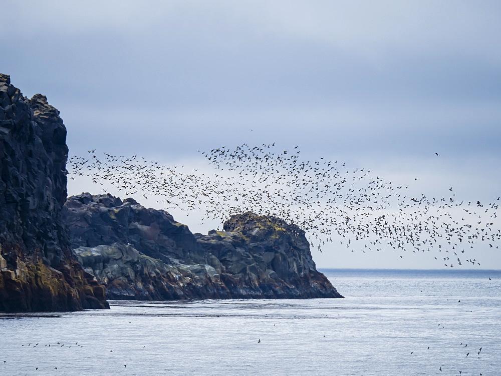 Flocks of seabirds take flight along the shores of Kiska Island, Aleutians, Alaska, United States of America, North America