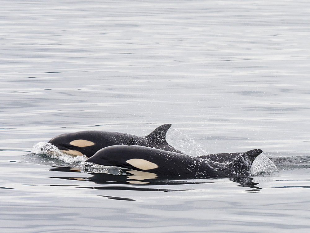 Two young killer whales (Orcinus orca), surfacing near St. Paul Island, Pribilof Islands, Alaska, United States of America, North America