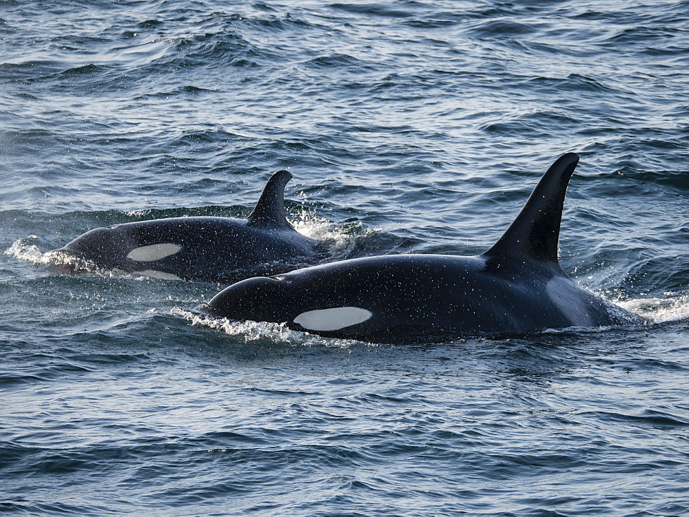 A pair of killer whales (Orcinus orca), surfacing in Kukak Bay, Katmai National Park, Alaska, United States of America, North America