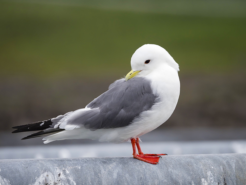 Adult red-legged kittiwake (Rissa brevirostris), St. Paul Island, Pribilof Islands, Alaska, United States of America, North America - 1112-4345