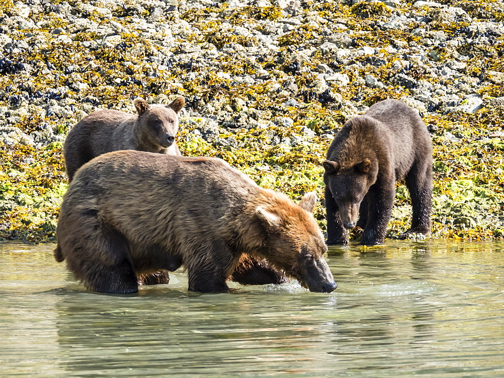 A mother brown bear (Ursus arctos), feeding with her cubs in Geographic Harbor, Katmai National Park, Alaska, United States of America, North America