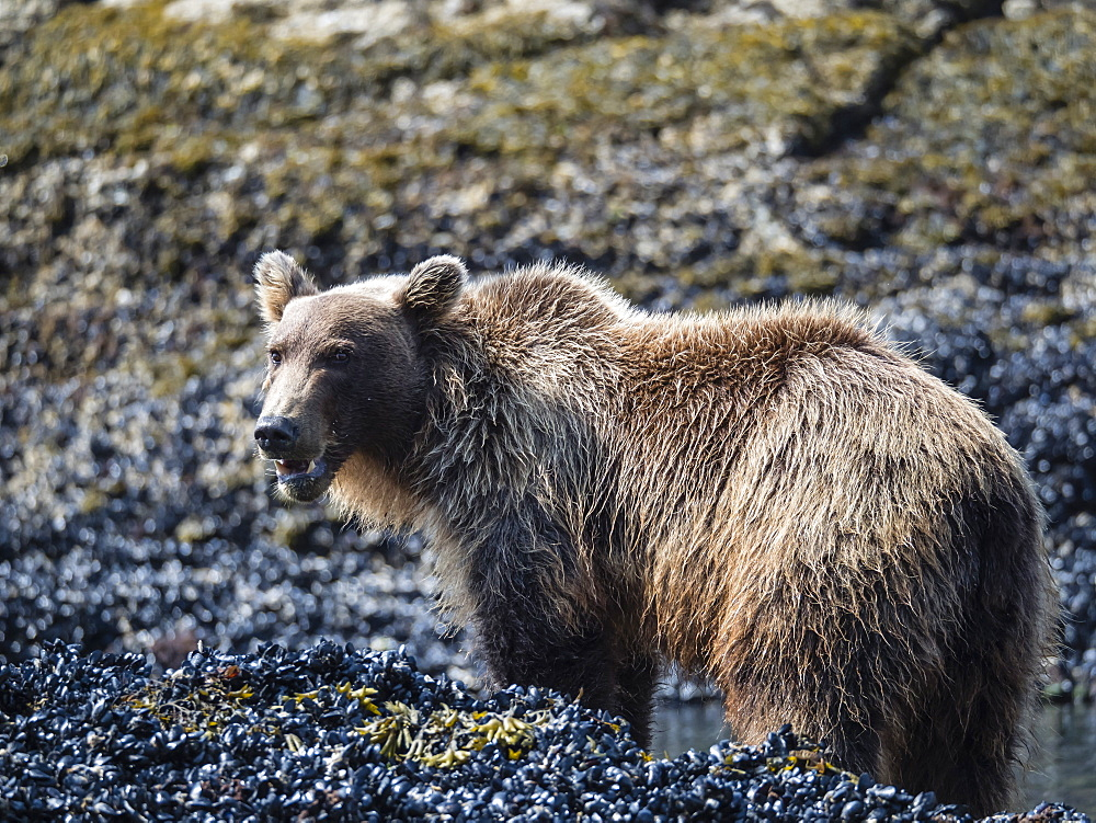 Young brown bear (Ursus arctos), feeding at low tide in Geographic Harbor, Katmai National Park, Alaska, United States of America, North America - 1112-4351