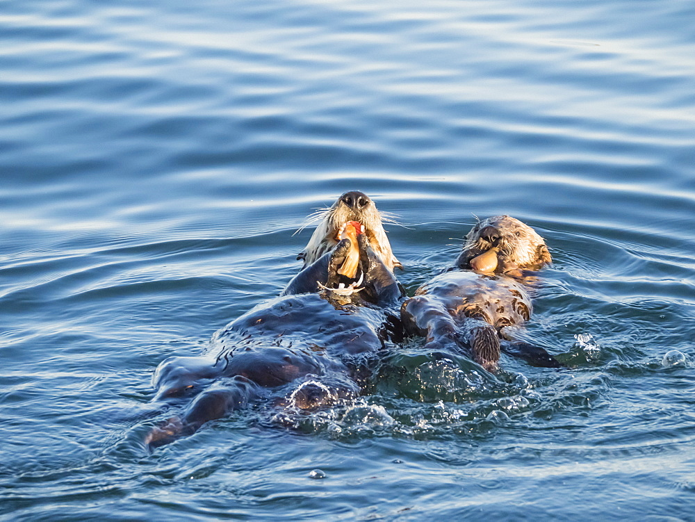 A mother and pup sea otter (Enhydra lutris), in Monterey Bay National Marine Sanctuary, California, United States of America, North America - 1112-4353