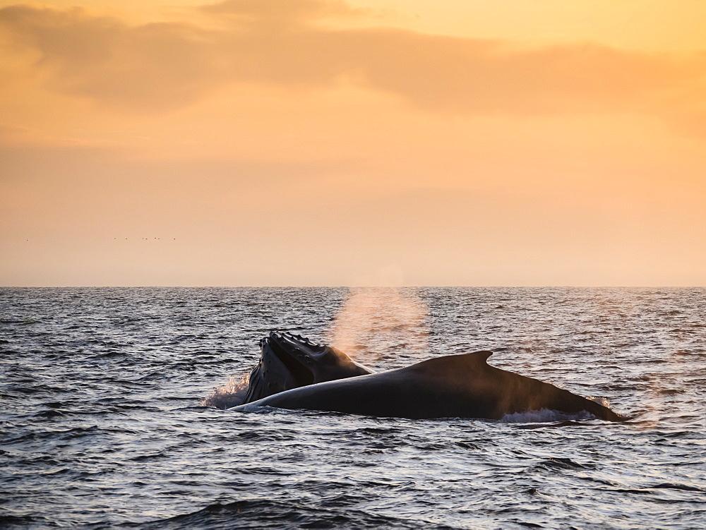 Humpback whales (Megaptera novaeangliae) at sunset in Monterey Bay National Marine Sanctuary, California, United States of America, North America