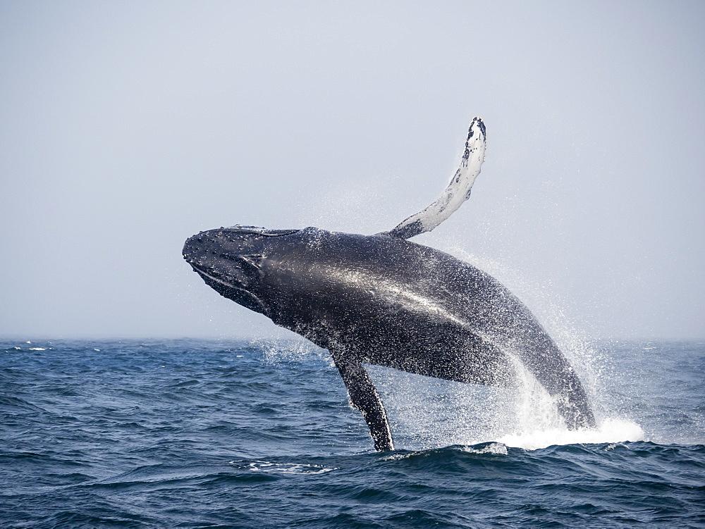 Humpback whale (Megaptera novaeangliae), breaching in Monterey Bay National Marine Sanctuary, California, United States of America, North America