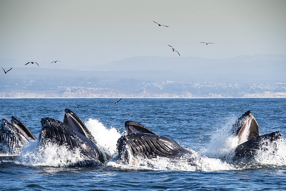 Humpback whales (Megaptera novaeangliae), lunge-feeding in Monterey Bay National Marine Sanctuary, California, United States of America, North America